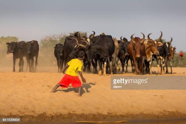 poor malagasy boys washing angry bulls- zebu in river, madagascar - madagascar enfant photos et images de collection