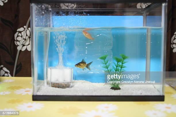 Pop Eyed Goldfish