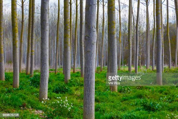 Poplar grove near Ega river Murieta Navarre Spain Europe