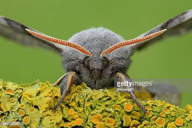 Poplar hawk-moth, Laothoe populi, Portrait