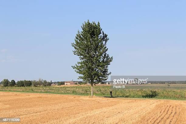 Poplar in a field