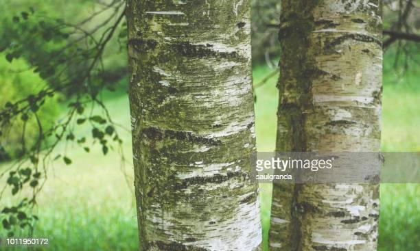 Poplar stems close-up