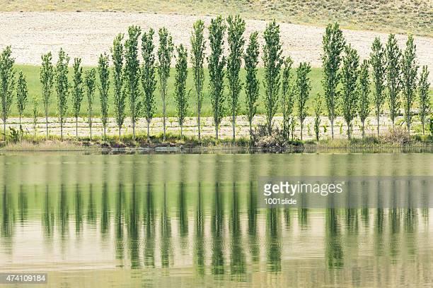 Poplar tree at Sariyar Dam Lake