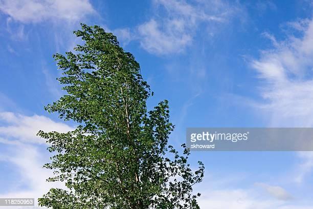 Poplar Tree Blowing in the Wind
