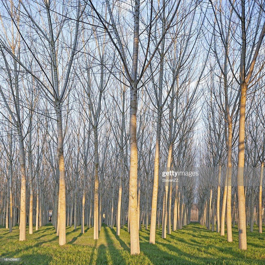 Choupo Floresta no Inverno. Emilia, Itália : Foto de stock