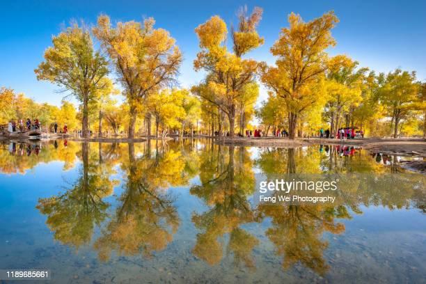 poplar tree in autumn colors, jinta, jiuquan, gansu, china - 甘粛省 ストックフォトと画像