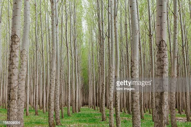 ポプラのプランテーション、樹木園成長の高いストレートの木