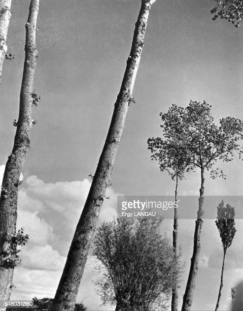 Poplar trees 1934 Les peupliers 1934