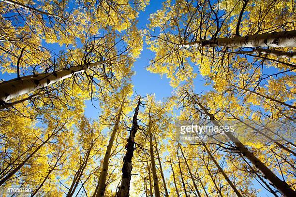 ポプラの木は秋
