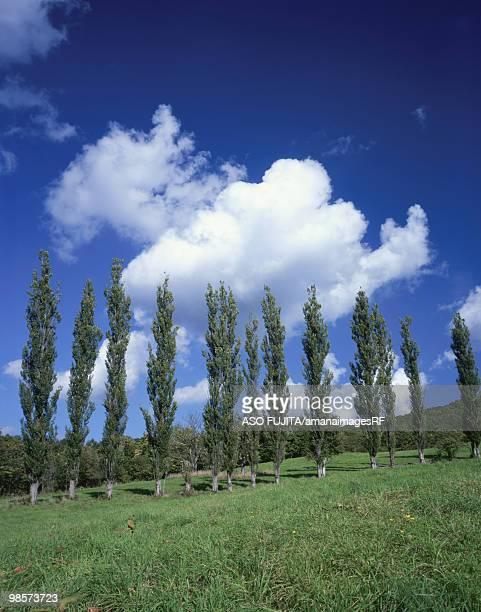 Poplar tress on green field with forest in background. Asahikawa, Hokkaido, Japan