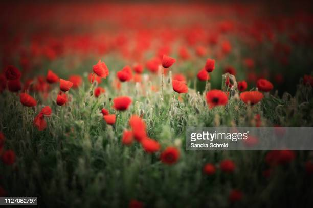 poppie field - sonne stock pictures, royalty-free photos & images
