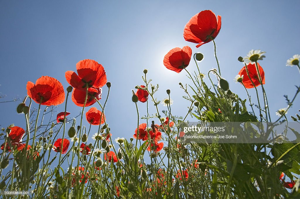 Poppies against blue sky, low angle view : Stock Photo