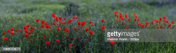 poppies among grass on meadow - terra coltivata foto e immagini stock