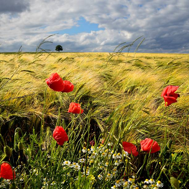 Poppies and barley field