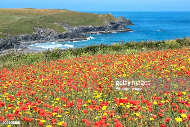 Poppies And Corn Marigolds Wild Flowers On The Coast Near Porth Joke Pentire Cornwall England Britain Uk