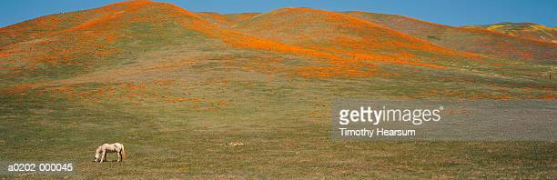 poppies and horse on hill - timothy hearsum stock pictures, royalty-free photos & images