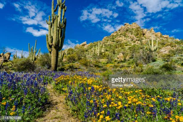 poppies and lupines in the desert - sonoran desert stock pictures, royalty-free photos & images