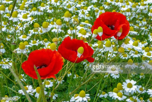 Poppies and Matricaria