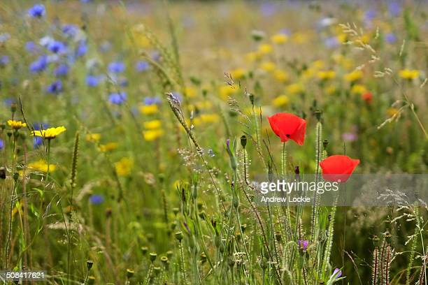 Poppies and wild flowers in the Cotswolds