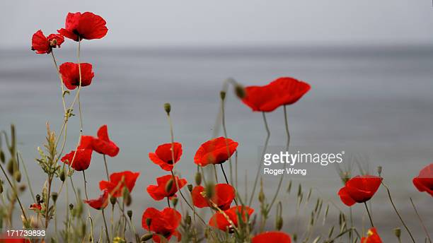 Poppies at Anzac Cove memorial site in Gallipoli
