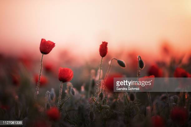 poppies at sunrise - wachstum stock pictures, royalty-free photos & images