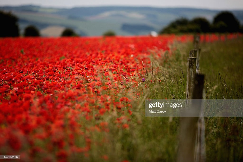 Poppies bloom in a field just of the A303 near Amesbury on June 25, 2012 in Wiltshire, England. After weeks of unsettled weather, which brought flooding to some parts of the UK at the weekend, forecasters are predicting the hottest day of the month later this week. However the break in the wet weather will be only shortlived with more rain predicted after.