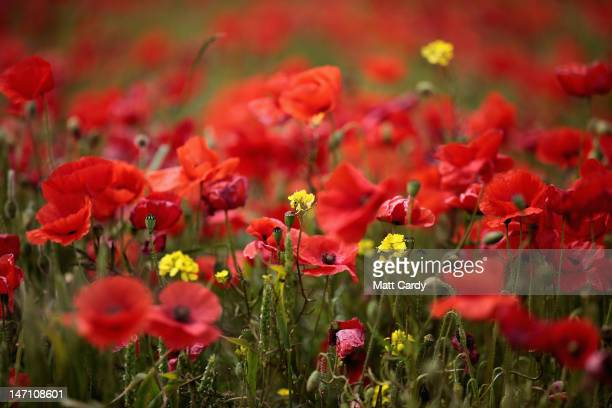 Poppies bloom in a field just off the A303 near Amesbury on June 25 2012 in Wiltshire England After weeks of unsettled weather which brought flooding...