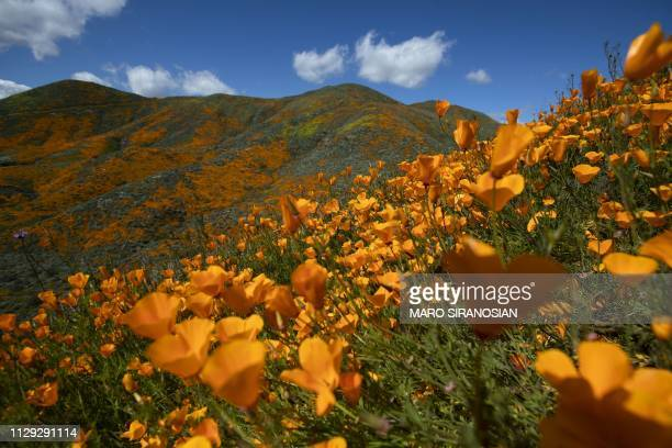 Poppies bloom on the hills of Walker Canyon in Lake Elsinore California on March 8 2019