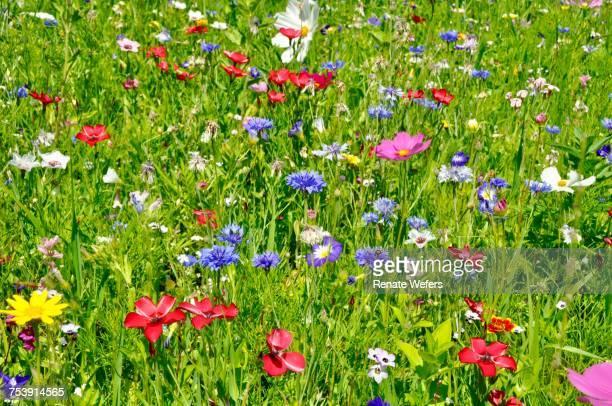 Poppies Blooming In Field