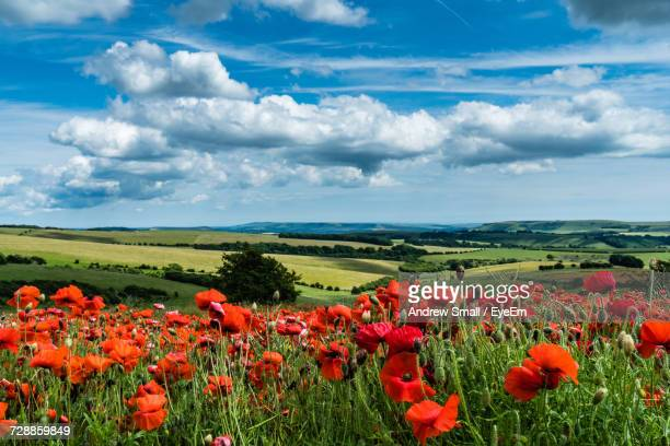 Poppies Blooming On Field Against Sky