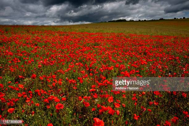 Poppies blooming on the South Downs near Brighton this morning on June 21 2019 in Brighton England