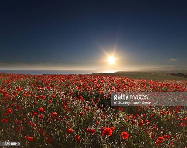 poppies field - s0ulsurfing stock pictures, royalty-free photos & images