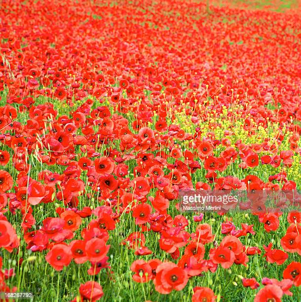Poppies Campo