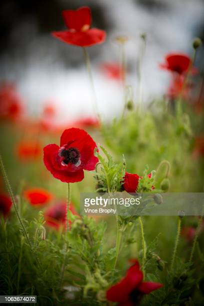 Poppies for Remembrance Day Australia