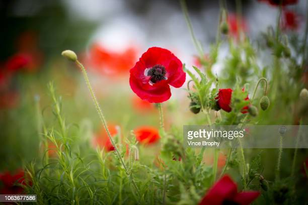 poppies for remembrance day australia - anzac poppy stock pictures, royalty-free photos & images