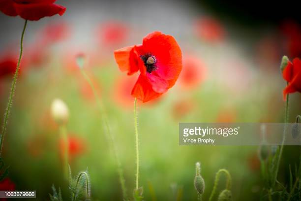 poppies for remembrance day australia - anzac day stock pictures, royalty-free photos & images