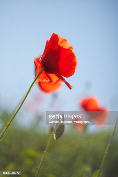 poppies for remembrance day - memorial day background stock pictures, royalty-free photos & images