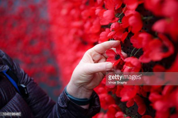 poppies for remembrance - remembrance day australia stock photos and pictures