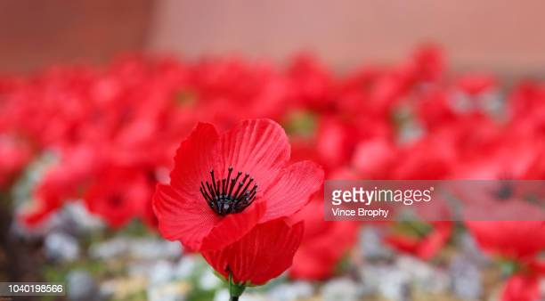 poppies for remembrance - remembrance day stock pictures, royalty-free photos & images