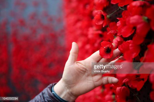 poppies for remembrance - armistice day stock photos and pictures