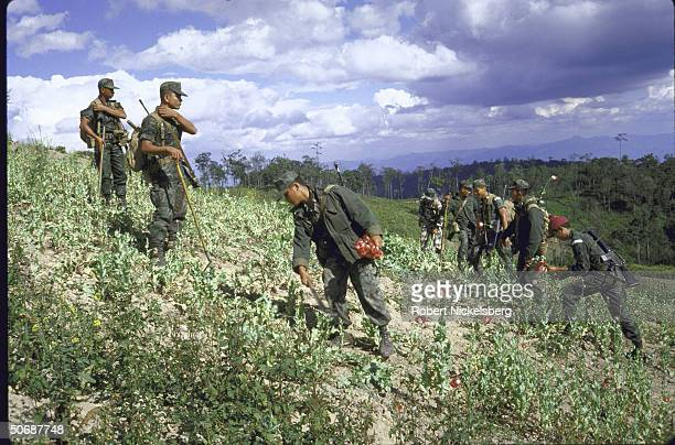Poppies gathered by troops in field re war against illegal drug trade