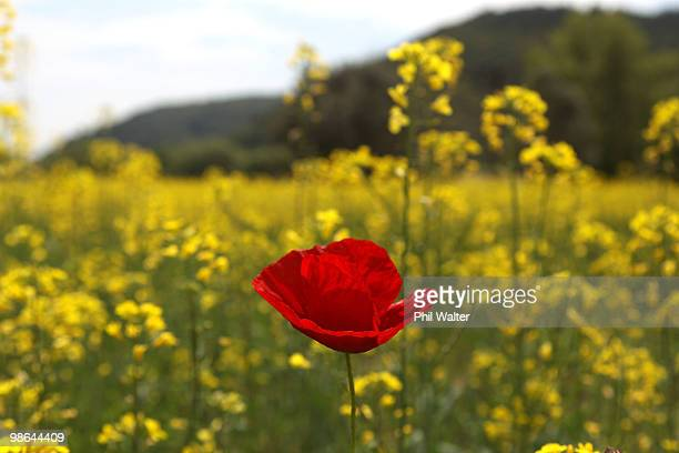 Poppies grow amongst the rapeseed on April 24 2010 in Gallipoli Turkey April 25 will commemorate the 95th anniversary of ANZAC Day when First World...