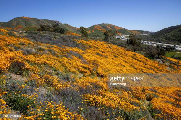 Poppies grow on a hill during a 'super bloom' in Lake Elsinore California US on Saturday March 16 2019 California is free of drought for the first...
