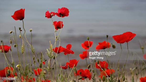 Poppies growing at Anzac Cove in Gallipoli