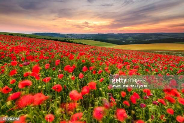 Poppies Growing In Field Against Sky During Sunset