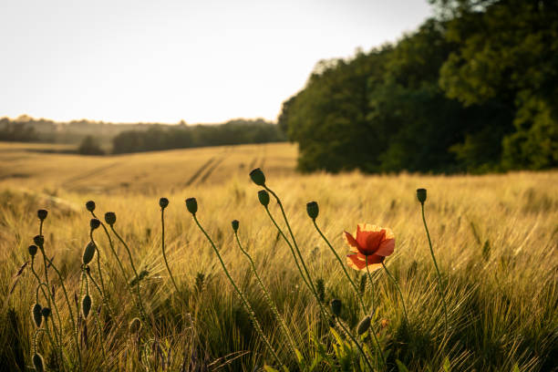 Poppies growing in field, Svogerslev, Denmark