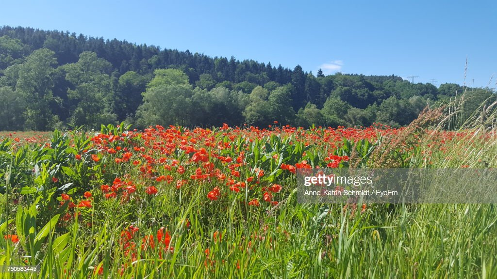 Poppies Growing On Field Against Sky Stock Photo | Getty Images