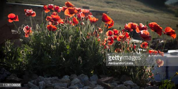 poppies illuminated by the sun