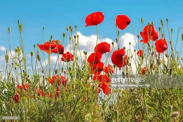 poppies in a field on a sunny day in summer - poppy field stock photos and pictures