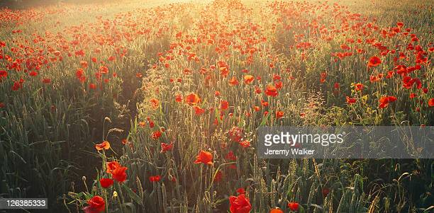 poppies in a wheat field at sunrise, near kettering. - northamptonshire - fotografias e filmes do acervo